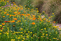 Wildflower meadow with California poppies (Eschscholzia californica) and Bird's Foot Trefoil (Lotus corniculatus), Crescent Farm, sustainable demonstation garden; Los Angeles County Arboretum and Botanic Garden