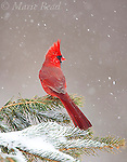 Northern Cardinal (Cardinalis cardinalis) male perched on conifer during snowstorm, New York, USA