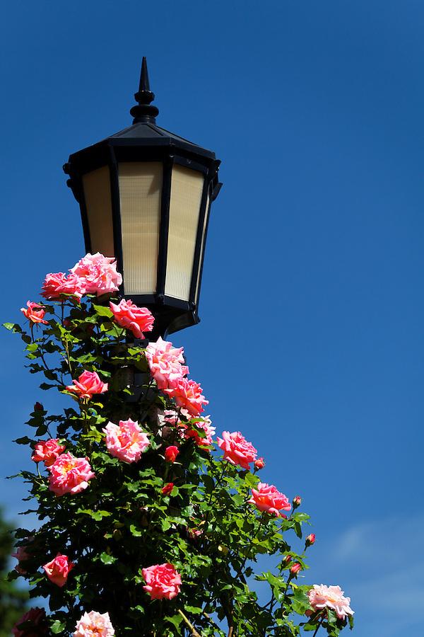 Pink roses climb a light pole, International Rose Test Garden, Washington Park, Portland, Multnomah County, Oregon, USA