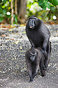 Crested black macaques mating, (Macaca nigra), Indonesia, Sulawesi, endangered species, threatened through loss of habitat and bush meat trade, species only occurs on Sulawesi.