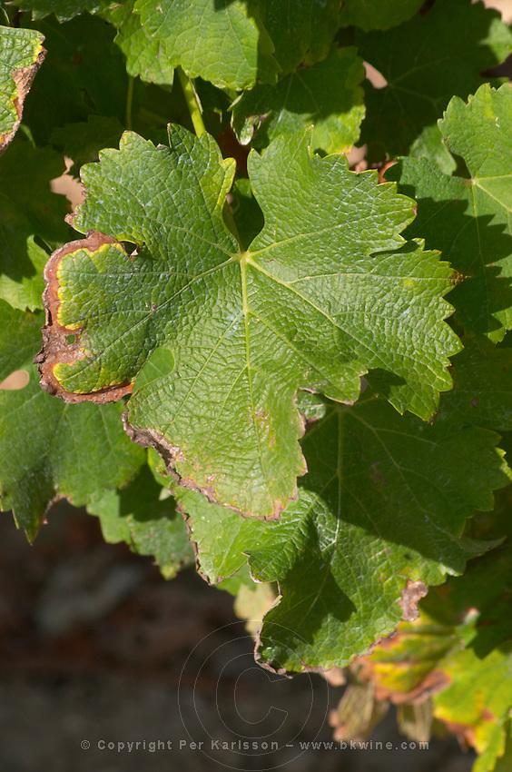 Vine leaf. Sauvignon blanc. Domaine Henry Natter, Montigny, Sancerre, Loire, France