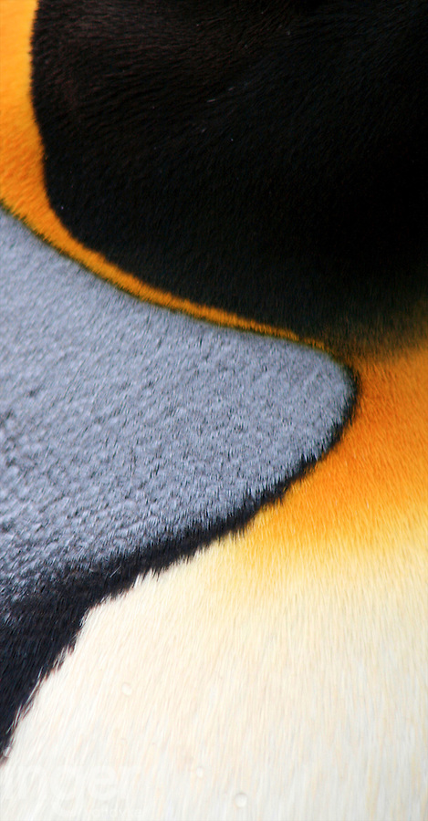King Penguin plumage, Macquarie Island, Antarctica