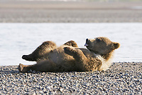 Corona, Lady Hook's cub. Kodiak grizzly bear (Ursus arctos middendorffi), Hallo Bay