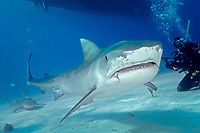 Large tiger shark, Galeocerdo cuvier, swims under boat with scuba diver nearby, Little Bahama Bank, Bahama Islands, Bahamas, Caribbean, Atlantic