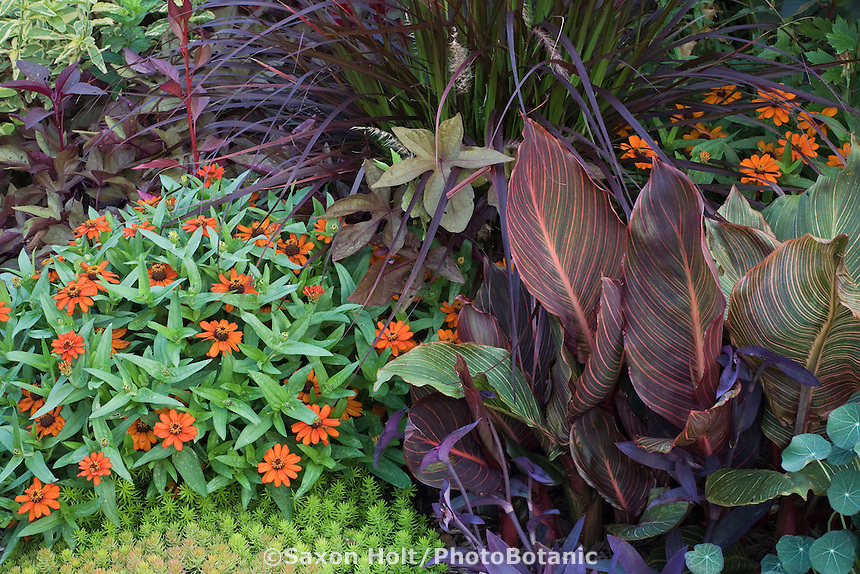 Colorful summer garden with Zinnia 'Profusion Orange', Canna 'Tropicana', purple Pennisetum foliage, and 'Sweet Caroline Bronze' Ipomoea batatas in Nancy Ondra Pennsylvania garden