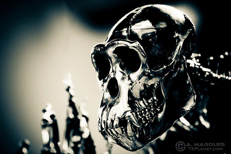 Metal sculpture of a chimpanzee skull, Edinburgh Zoo, Edinburgh, Scotland.  .This sculpture is part of a human skeleton/chimpanzee skeleton piece found in the lobby of the Budongo Trail at the Edinburgh Zoo.