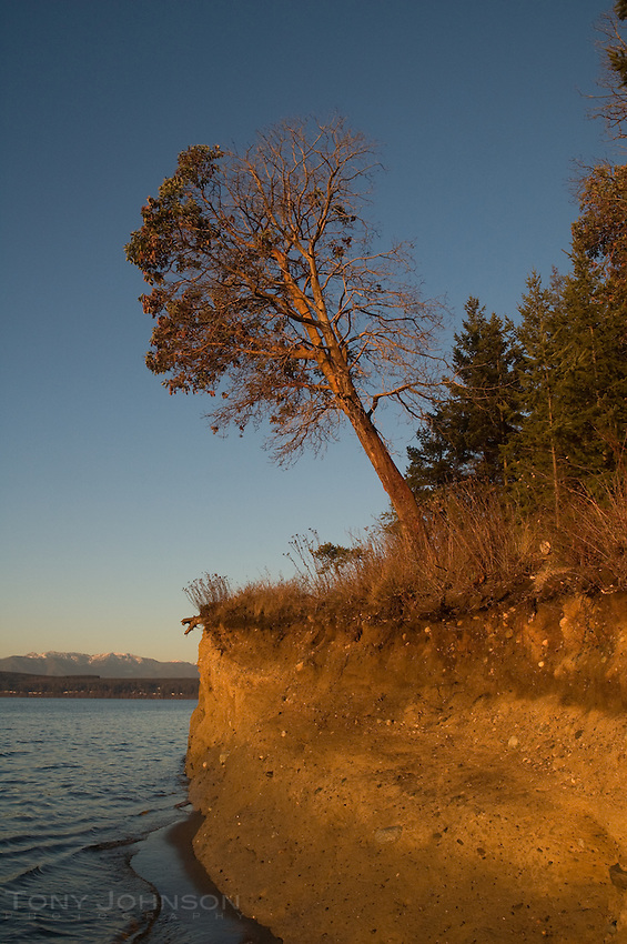 Madrona on the Shoreline, Foulweather Bluff Preserve