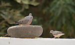 Eared Doves, Zenaida auriculata, at a feeder at San Jorge de Quito eco-lodge, Quito, Ecuador