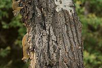 Young Red Squirrels (Tamiasciurus hudsonicus) in aspen tree.  Western U.S., June.