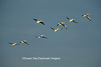 00671-00602 American White Pelicans (Pelecanus erythrorhynchos) in flight Port Aransas Birding Center   TX