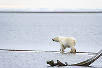 Polar bear on the beach by the Inupiat village of Kaktovik, Barter Island, Arctic, Alaska.