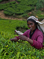 Tea plantations and workers at Nuwara Eliya- Horton Plains, Sri Lanka