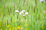 Beautiful Daisy White Flower surrounded by Grass Weeds