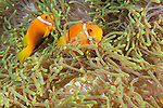 Thandi Giri, Kadhdhoo Island, Laamu Atoll, Maldives; two Blackfinned Anemonefish (Amphiprion nigripes) in a green Magnificent Sea Anemone