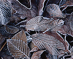 Frost-covered red alder leaves, Olympic Peninsula, Washington