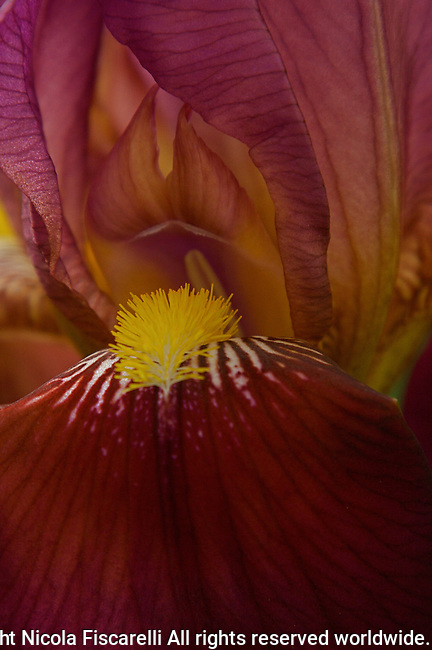 A beautiful close-up of a maroon colored Iris.