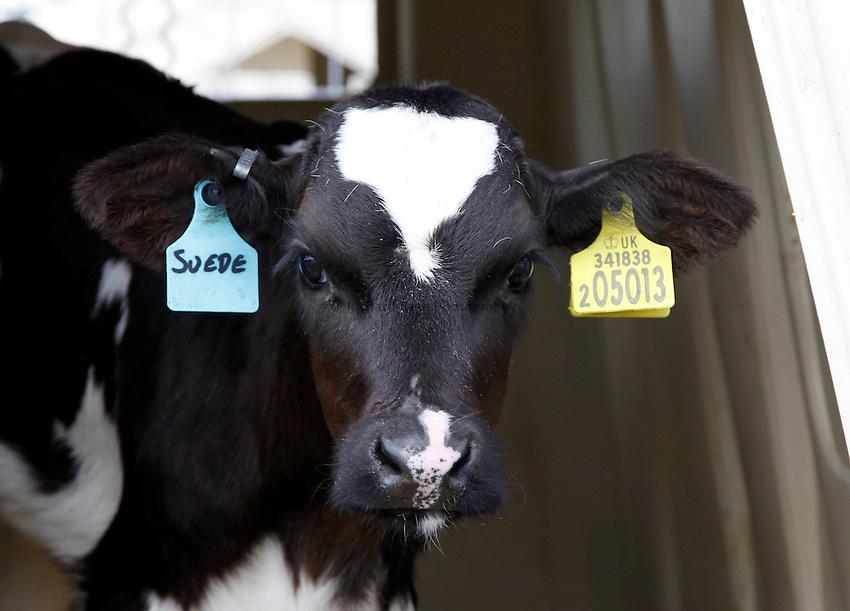 Photo: Richard Lane/Richard Lane Photography. Holstein Friesian calf at Wimbourne St Giles, Dorset. 24/08/2012.