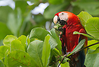 Scarlet macaws eat up to 300 almonds per day.  Their large beaks help cut through the thick shells.