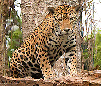 0522-1111  Goldman's Jaguar, Belize, Panthera onca goldmani  © David Kuhn/Dwight Kuhn Photography