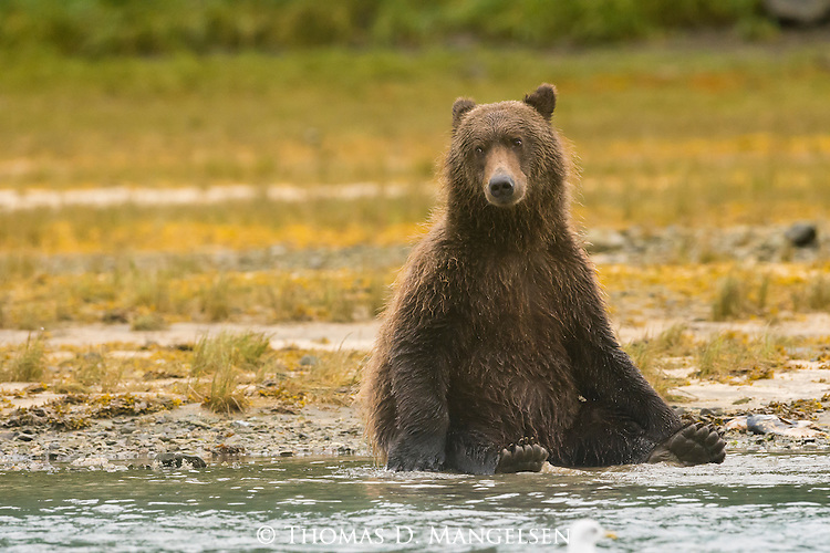 A bear sits contently, while cooling off at the waters edge in Katmai National Park, Alaska.