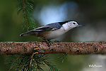 NUTHATCH; white-breasted nuthatch
