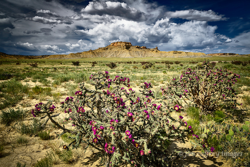 Cane chollas bloom in New Mexico's Rio Puerco Valley south of Cabezon.