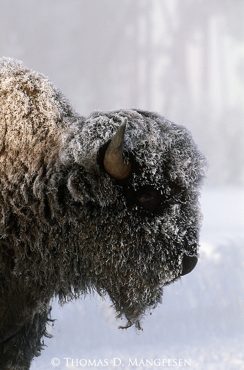 Portrait of snow-covered bison in Yellowstone National Park, Wyoming.
