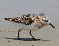Male sanderling molting to winter plumage in mid-August