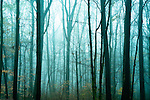Misty forest with tall trees