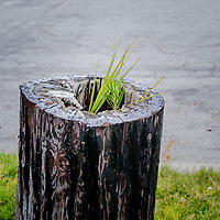 A lonely decroative post, its interior deteriorating from time and weather, but still there is life as vibrant green grasses root and climb up from the decaying center.