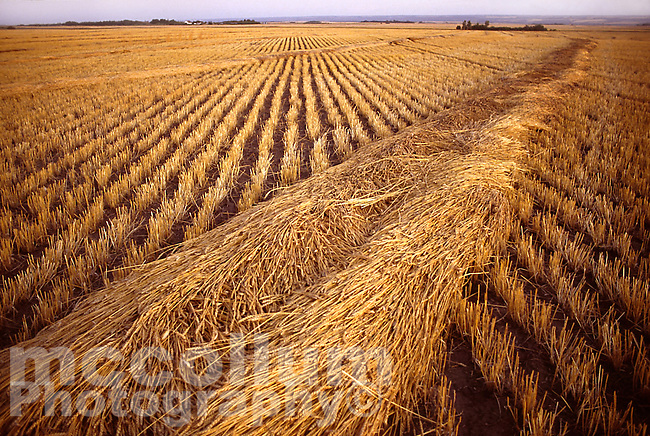 Wheat in a field at sunset, ready for harvest, east of North Battleford, Saskatchewan...