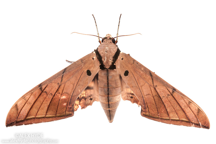 Hawk Moth {Ambulyx pryeri} photographed on a white background in mobile field studio in tropical rainforest. Danum Valley, Sabah, Borneo, Malaysia.