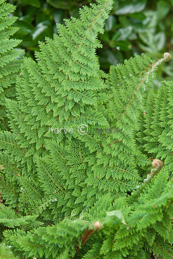 Polystichum setiferum, polystique // Polystichum setiferum, Soft Shield Fern