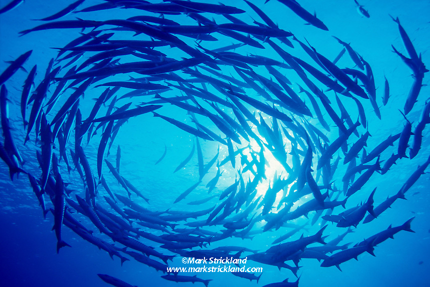 A school of Chevron Barracuda, Sphyraena genie, form a living cyclone in mid-water.  Koh Tachai, Thailand, Andaman Sea