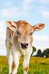 Swiss Dairy Calf
