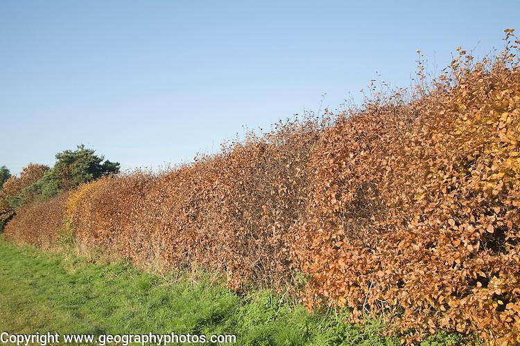 Copper Beech hedge, Fagus sylvatica Purpurea, in autumn leaf with blue sky, Sutton, Suffolk, England