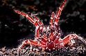 Sydney Funnelweb (Atrax robustus) female, closeup of fangs, forelegs raised ready to attack