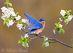 Eastern Bluebird (Sialia sialis), male performs wing-wave display, while perched amid cherry blossom in spring, New York, USA