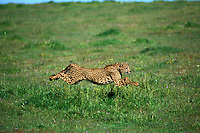 Cheetah (Acinonyx jubatus), running