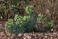 Helleborus foetidus Stinking hellebore in green flowers in winter