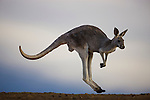 Australia,  NSW, Sturt National Park; red kangaroo (Macropus rufus) hopping over sand ridge at dawn; the red kangaroo population increased dramatically after the recent rains in the previous 3 years following 8 years of drought
