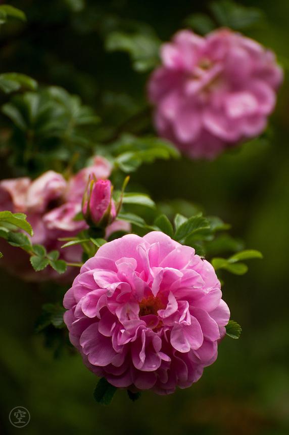 Pink rose blossoms, Larkwhistle Gardens, Bruce Peninsula, Ontario, Canada.