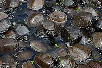 Agentes da delegacia especializada em meio ambiente do estado - DEMA - entregam tartarugas apreendidas ao Ibama, a espécie tartaruga da Amazônia(Podcnemis expansa) é colocada em uma camionete para serem levadas a um criador registrado pelo orgão federal. Apreensão feita pelo delegado Marcos Lemos, 38,  no  bairro do Guamá onde foram presas 3 pessoas. Os animais, conforme o delegado são originárias do município de Senador José Porfírio no oeste do estado do Pará.  <br /> 23/01/2007   <br /> Belém, Pará, Brasil.            <br /> Foto Paulo Santos/Interfoto