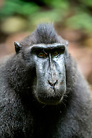 The Celebes crested macaque (Macaca nigra), also known as the crested black macaque, Sulawesi crested macaque, or the black ape, is an Old World monkey that lives in the northeast of the Indonesian island of Sulawesi (Celebes) as well as on smaller neighbouring islands. The Celebes crested macaque (Macaca nigra), also known as the crested black macaque, Sulawesi crested macaque, or the black ape, is an Old World monkey that lives in the northeast of the Indonesian island of Sulawesi (Celebes) as well as on smaller neighbouring islands.