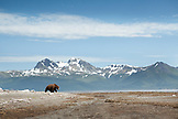 USA, Alaska, Homer, a large male grizzly bear in the wide open landscape of the Katmai National Park, Katmai Peninsula, Gulf of Alaska