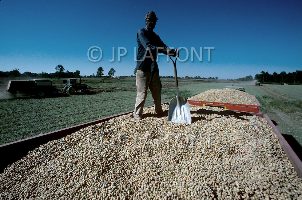 Georgia, USA, September, 1978. Agriculture peanuts picking.