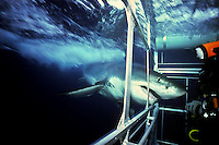 Great white attacks shark cage off Guadalupe Island, Mexico. After this photo was taken the shark got stuck and proceded to destroy the cage before it finally managed to free itself.  Photo Copyright Protected © Dale Sanders / www.dalesanders.info  All Rights Reserved Worldwide.