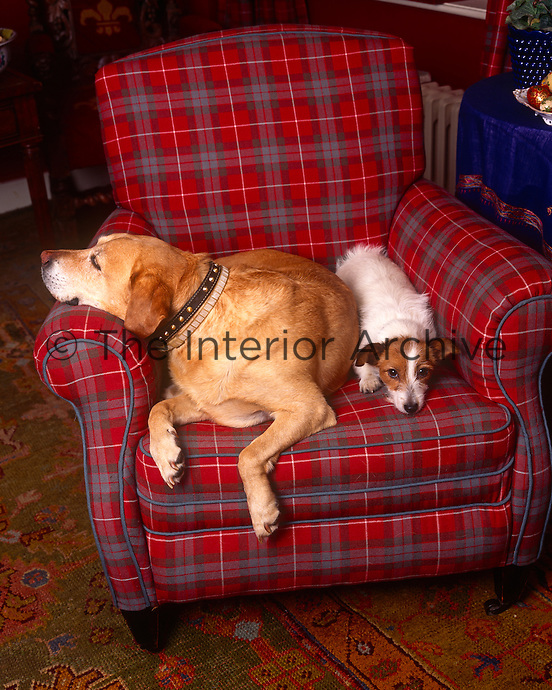 Two dogs snuggle up on a tartan-covered armchair in the living room