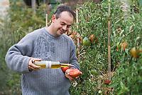 """Europe/France/Languedoc-Roussillon/30/Gard/ Martignargues: Mr Paradis  déguste une tomate coeur de boeuf de son potager avec son  huile d'olive Piccholine- Moulin à Huile d'Olive  """"Paradis"""""""