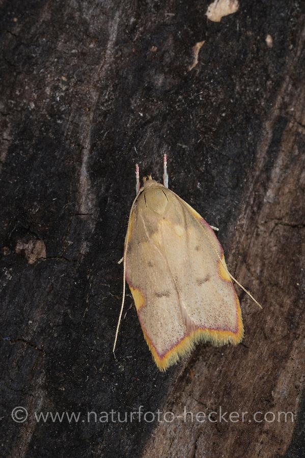Eichen-Faulholzmotte, Carcina quercana, Carcina purpurana, Pyralis quercana, oak lantern, long-horned flat-body, oak-skeletonizer moth, Faulholzmotten, Oecophoridae
